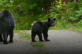 American Black Bear | Wildlife Safety | Cabin Rentals of Georgia